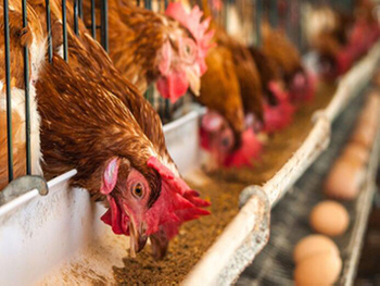 The Advantages of Ozone Sterilization Technology in Poultry Breeding